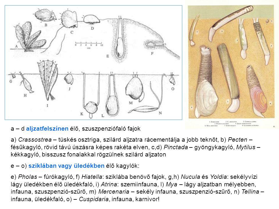 a – d aljzatfelszínen élő, szuszpenziófaló fajok a) Crassostrea – tüskés osztriga, szilárd aljzatra rácementálja a jobb teknőt, b) Pecten – fésűkagyló, rövid távú úszásra képes rakéta elven, c,d) Pinctada – gyöngykagyló, Mytilus – kékkagyló, bisszusz fonalakkal rögzülnek szilárd aljzaton e – o) sziklában vagy üledékben élő kagylók: e) Pholas – fúrókagyló, f) Hiatella: sziklába benövő fajok, g,h) Nucula és Yoldia: sekélyvízi lágy üledékben élő üledékfaló, i) Atrina: szemiinfauna, l) Mya – lágy aljzatban mélyebben, infauna, szuszpenzió-szűrő, m) Mercenaria – sekély infauna, szuszpenzió-szűrő, n) Tellina – infauna, üledékfaló, o) – Cuspidaria, infauna, karnivor!