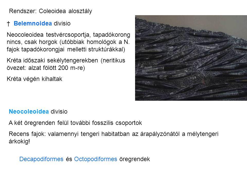 † Belemnoidea divisio Neocoleoidea testvércsoportja, tapadókorong nincs, csak horgok (utóbbiak homológok a N. fajok tapadókorongjai melletti struktúrá