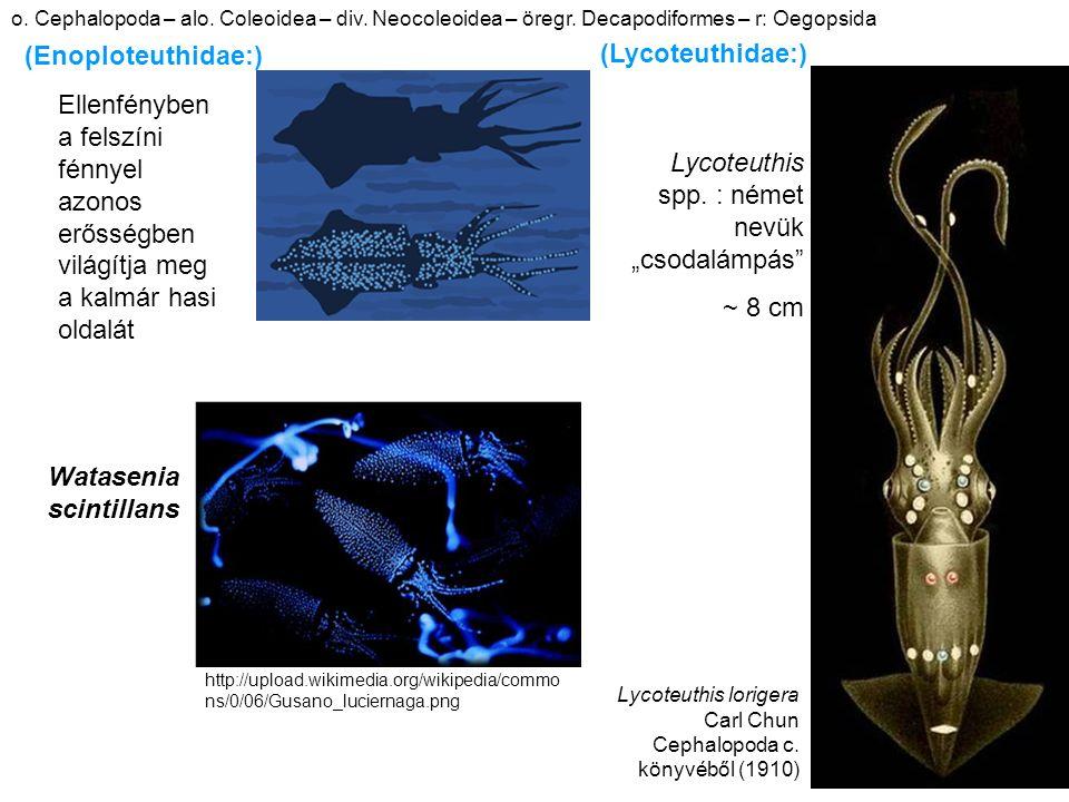 http://upload.wikimedia.org/wikipedia/commo ns/0/06/Gusano_luciernaga.png Watasenia scintillans Ellenfényben a felszíni fénnyel azonos erősségben világítja meg a kalmár hasi oldalát (Enoploteuthidae:) o.