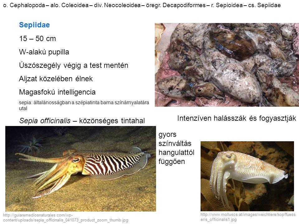 o. Cephalopoda – alo. Coleoidea – div. Neocoleoidea – öregr. Decapodiformes – r. Sepioidea – cs. Sepiidae http://guiaremediosnaturales.com/wp- content