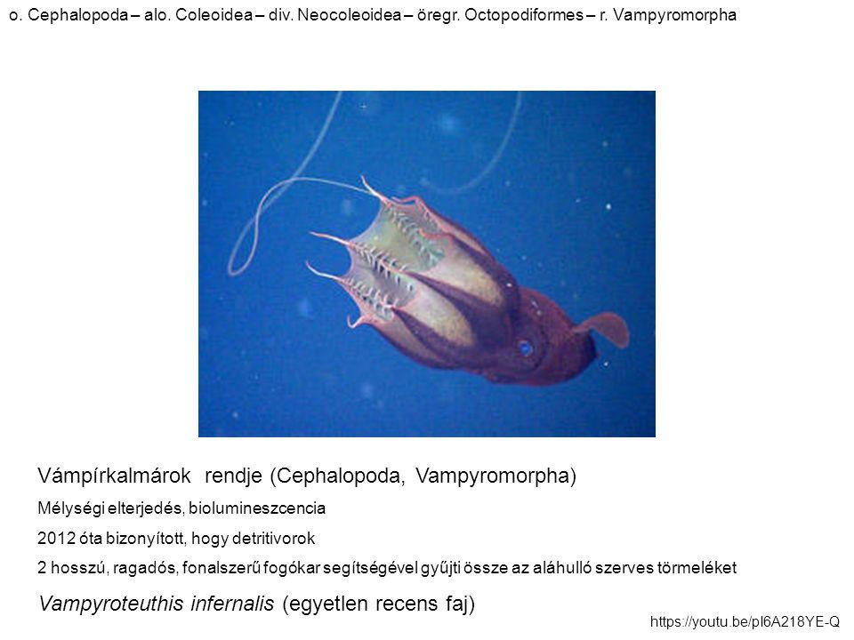Vámpírkalmárok rendje (Cephalopoda, Vampyromorpha) Mélységi elterjedés, biolumineszcencia 2012 óta bizonyított, hogy detritivorok 2 hosszú, ragadós, fonalszerű fogókar segítségével gyűjti össze az aláhulló szerves törmeléket Vampyroteuthis infernalis (egyetlen recens faj) o.