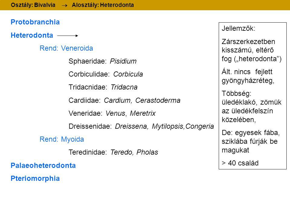 Protobranchia Heterodonta Rend: Veneroida Sphaeridae: Pisidium Corbiculidae: Corbicula Tridacnidae: Tridacna Cardiidae: Cardium, Cerastoderma Venerida