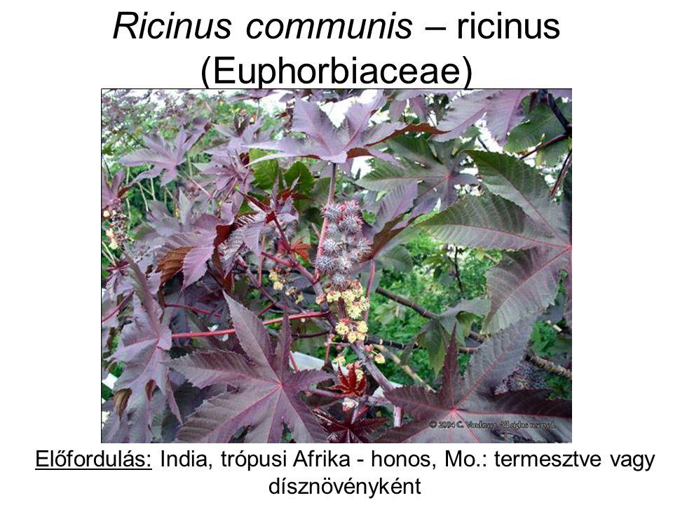 Ricinus communis – ricinus (Euphorbiaceae) Előfordulás: India, trópusi Afrika - honos, Mo.: termesztve vagy dísznövényként