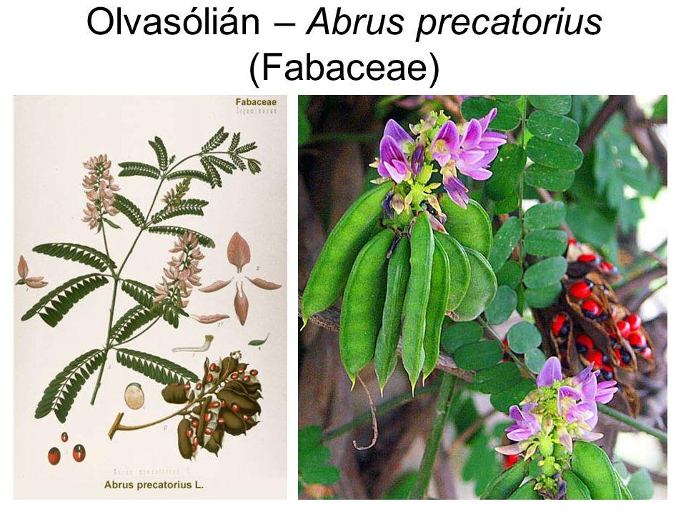 Olvasólián – Abrus precatorius (Fabaceae)