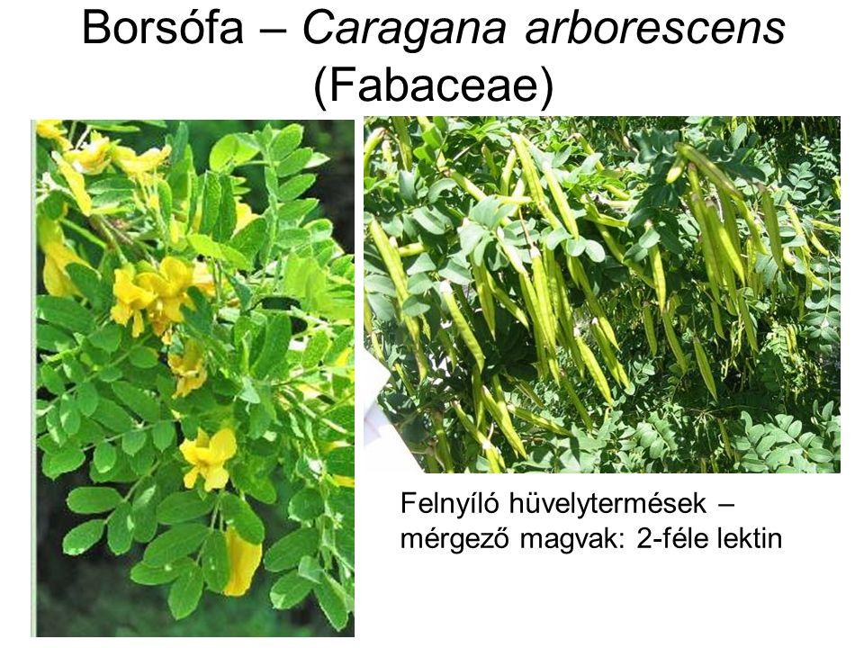 Borsófa – Caragana arborescens (Fabaceae) Felnyíló hüvelytermések – mérgező magvak: 2-féle lektin