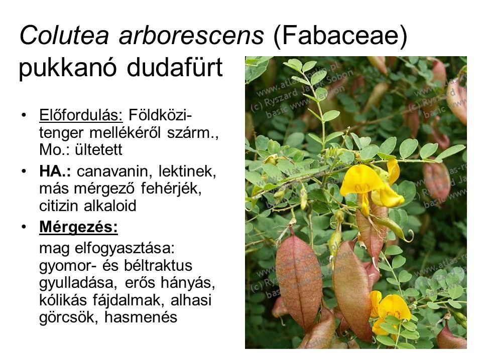 Colutea arborescens (Fabaceae) pukkanó dudafürt Előfordulás: Földközi- tenger mellékéről szárm., Mo.: ültetett HA.: canavanin, lektinek, más mérgező fehérjék, citizin alkaloid Mérgezés: mag elfogyasztása: gyomor- és béltraktus gyulladása, erős hányás, kólikás fájdalmak, alhasi görcsök, hasmenés