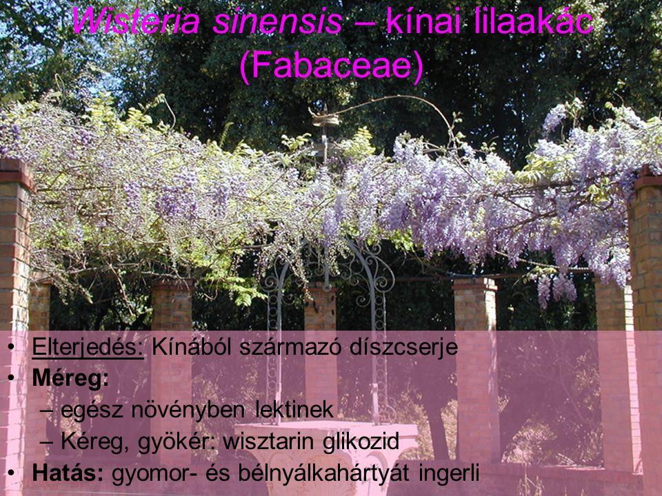 Wisteria sinensis – kínai lilaakác (Fabaceae) Elterjedés: Kínából származó díszcserje Méreg: –egész növényben lektinek –Kéreg, gyökér: wisztarin glikozid Hatás: gyomor- és bélnyálkahártyát ingerli