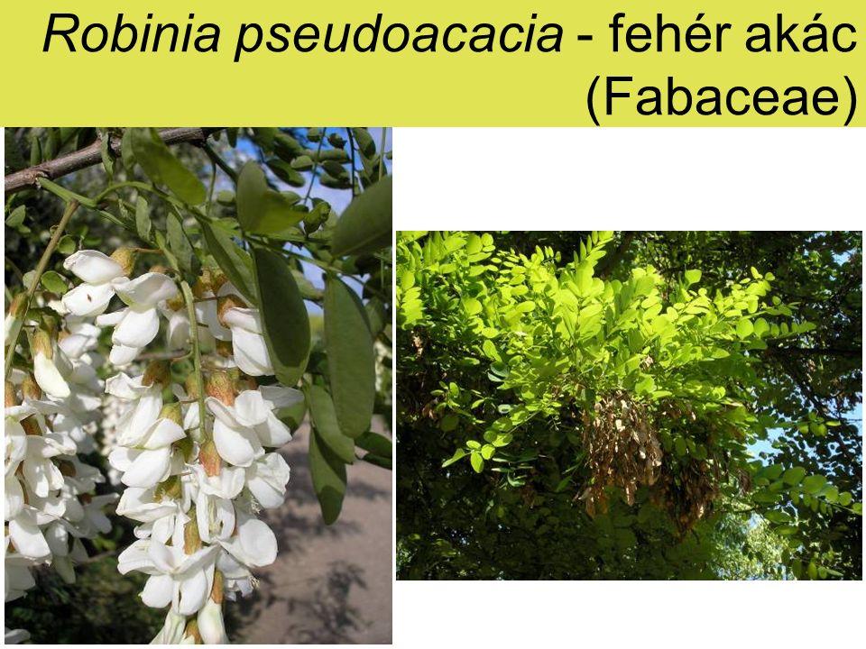 Robinia pseudoacacia - fehér akác (Fabaceae)