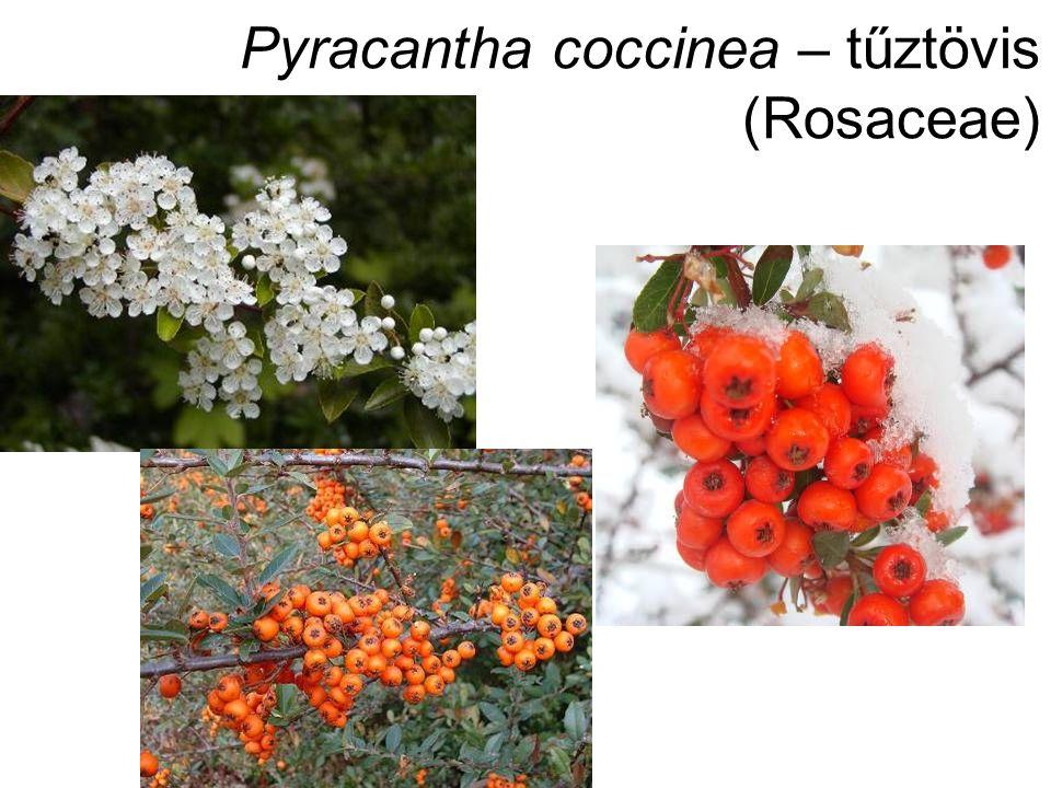 Pyracantha coccinea – tűztövis (Rosaceae)