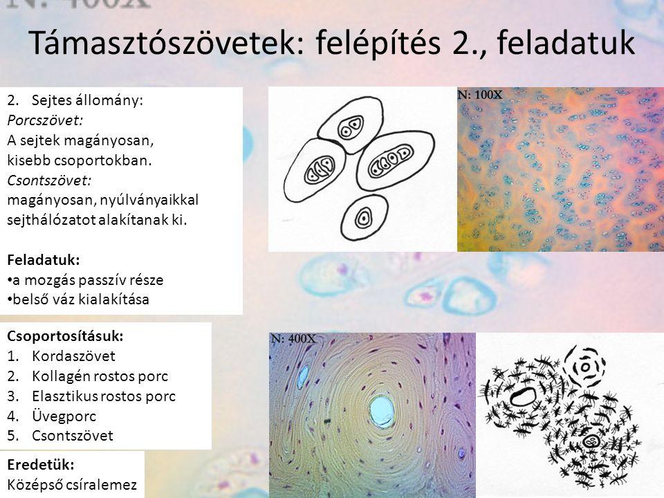 Támasztószövetek: felépítés 2., feladatuk 2.Sejtes állomány: Porcszövet: A sejtek magányosan, kisebb csoportokban. Csontszövet: magányosan, nyúlványai