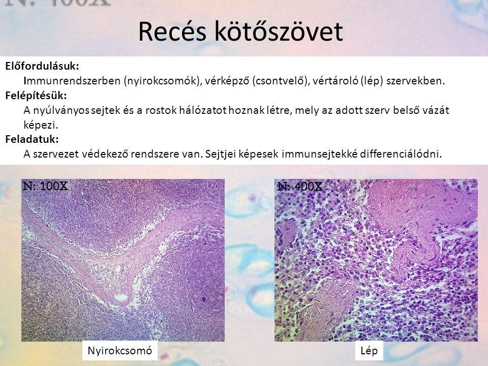 Recés kötőszövet Előfordulásuk: Immunrendszerben (nyirokcsomók), vérképző (csontvelő), vértároló (lép) szervekben. Felépítésük: A nyúlványos sejtek és