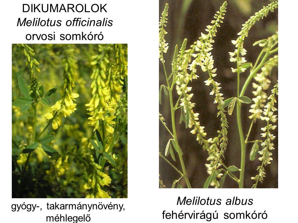 DIKUMAROLOK Melilotus officinalis orvosi somkóró Melilotus albus fehérvirágú somkóró gyógy-, takarmánynövény, méhlegelő