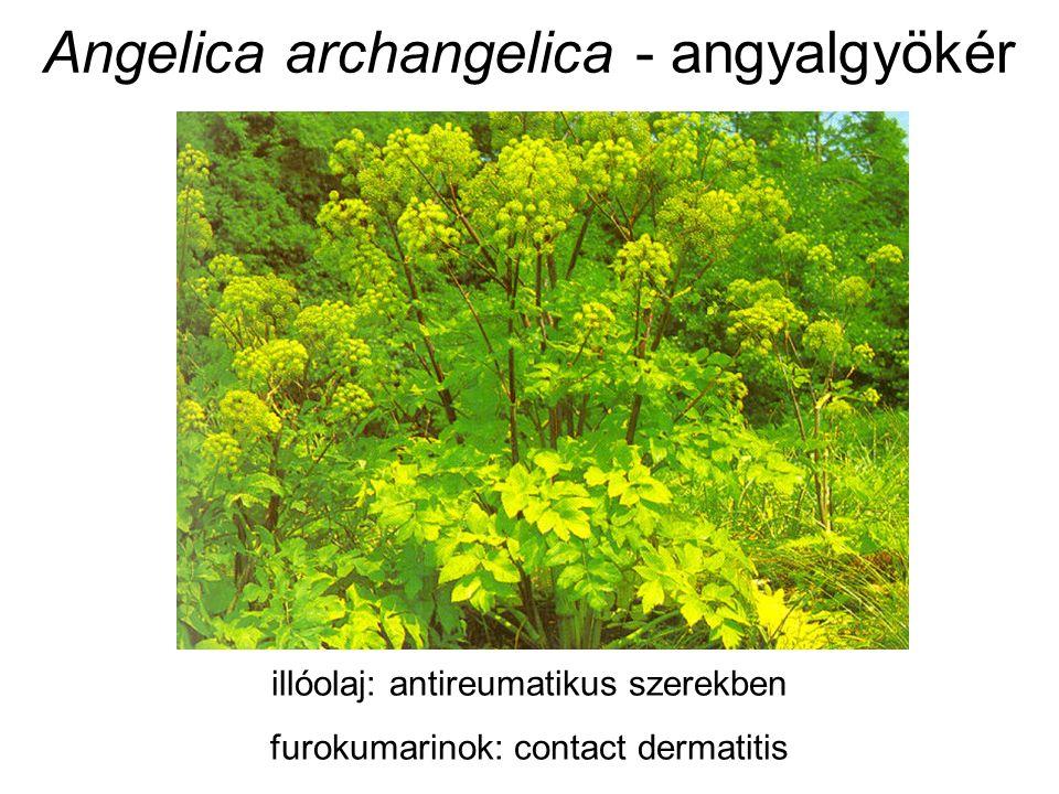 Angelica archangelica - angyalgyökér illóolaj: antireumatikus szerekben furokumarinok: contact dermatitis