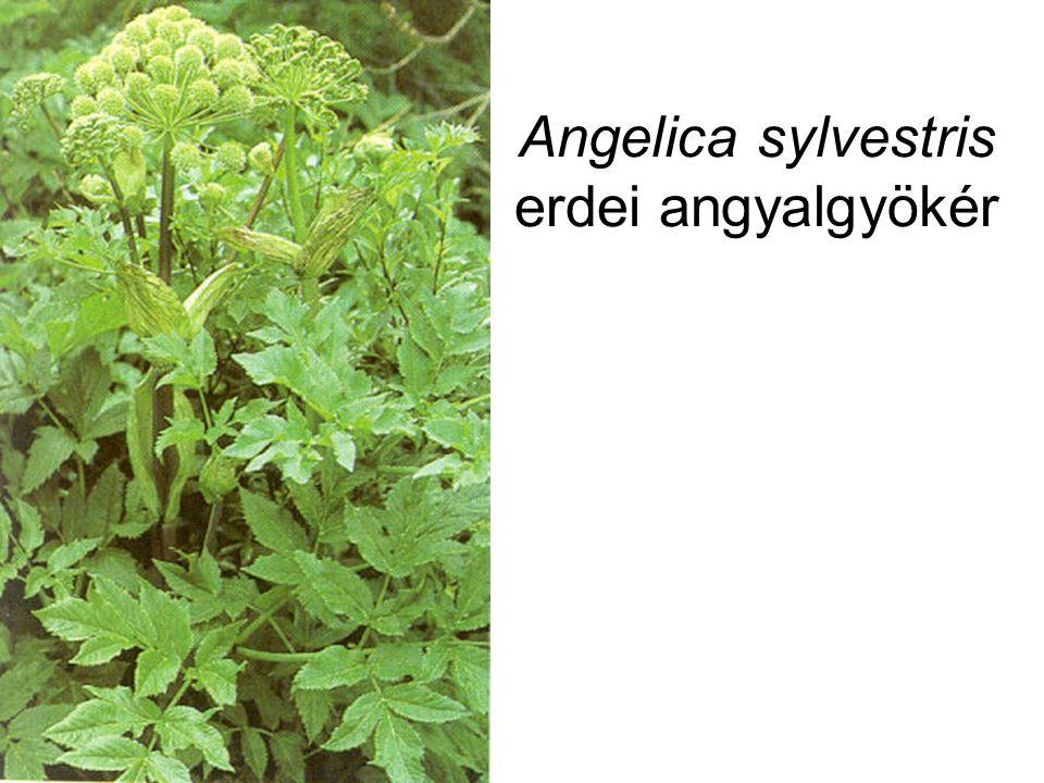 Angelica sylvestris erdei angyalgyökér
