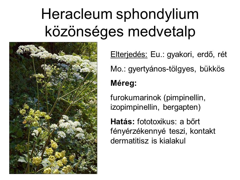 Heracleum sphondylium közönséges medvetalp Elterjedés: Eu.: gyakori, erdő, rét Mo.: gyertyános-tölgyes, bükkös Méreg: furokumarinok (pimpinellin, izopimpinellin, bergapten) Hatás: fototoxikus: a bőrt fényérzékennyé teszi, kontakt dermatitisz is kialakul