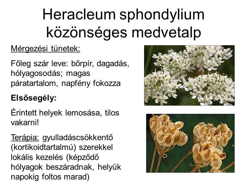 Heracleum sphondylium közönséges medvetalp Mérgezési tünetek: Főleg szár leve: bőrpír, dagadás, hólyagosodás; magas páratartalom, napfény fokozza Elsősegély: Érintett helyek lemosása, tilos vakarni.