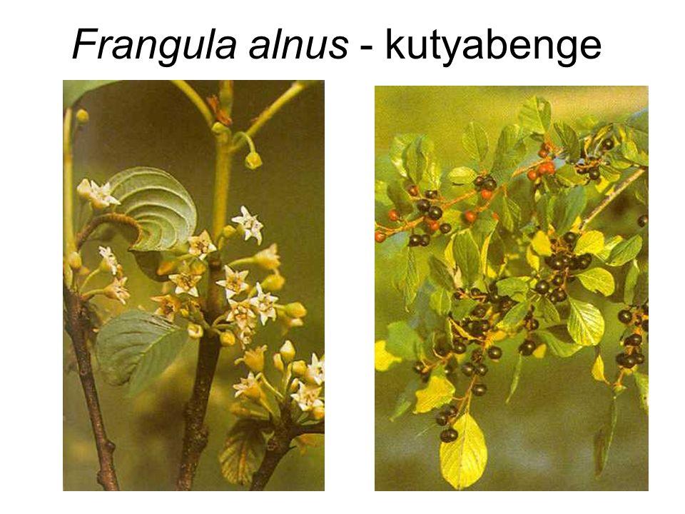 Frangula alnus - kutyabenge