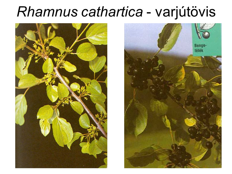 Rhamnus cathartica - varjútövis
