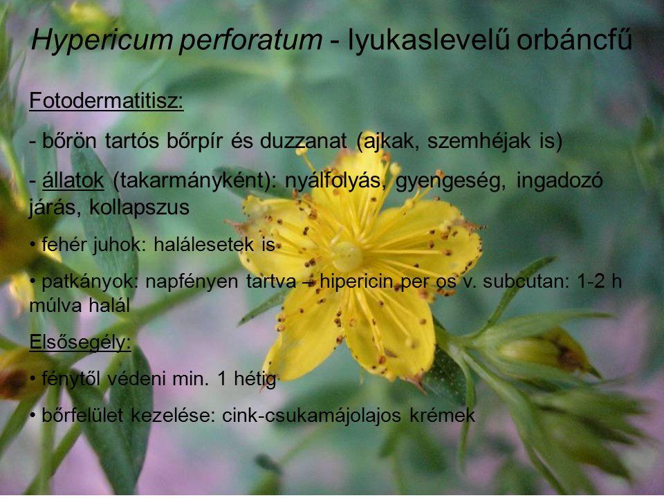 Hypericum perforatum - lyukaslevelű orbáncfű Fotodermatitisz: - bőrön tartós bőrpír és duzzanat (ajkak, szemhéjak is) - állatok (takarmányként): nyálfolyás, gyengeség, ingadozó járás, kollapszus fehér juhok: halálesetek is patkányok: napfényen tartva – hipericin per os v.
