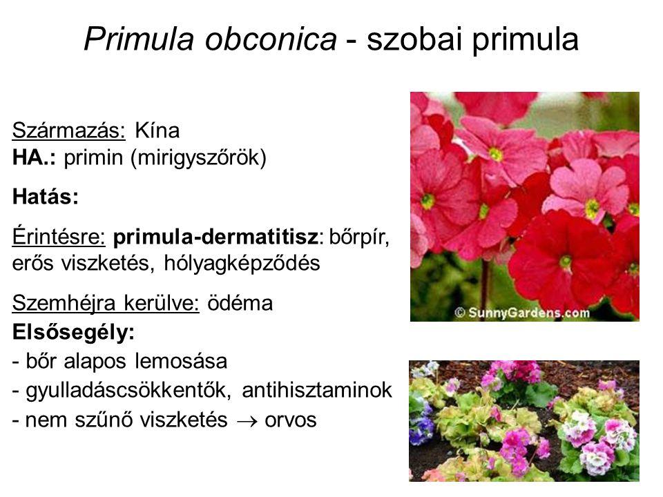 Primula obconica - szobai primula Származás: Kína HA.: primin (mirigyszőrök) Hatás: Érintésre: primula-dermatitisz: bőrpír, erős viszketés, hólyagképződés Szemhéjra kerülve: ödéma Elsősegély: - bőr alapos lemosása - gyulladáscsökkentők, antihisztaminok - nem szűnő viszketés  orvos