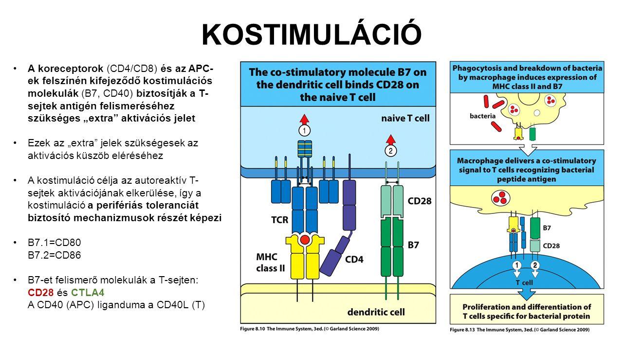"""KOSTIMULÁCIÓ A koreceptorok (CD4/CD8) és az APC- ek felszínén kifejeződő kostimulációs molekulák (B7, CD40) biztosítják a T- sejtek antigén felismeréséhez szükséges """"extra aktivációs jelet Ezek az """"extra jelek szükségesek az aktivációs küszöb eléréséhez A kostimuláció célja az autoreaktív T- sejtek aktivációjának elkerülése, így a kostimuláció a perifériás toleranciát biztosító mechanizmusok részét képezi B7.1=CD80 B7.2=CD86 B7-et felismerő molekulák a T-sejten: CD28 és CTLA4 A CD40 (APC) liganduma a CD40L (T)"""