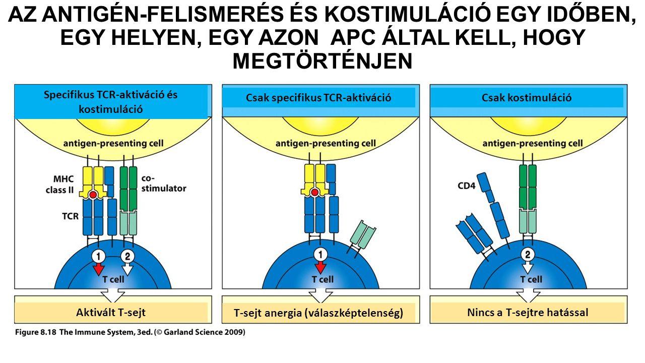 AZ ANTIGÉN-FELISMERÉS ÉS KOSTIMULÁCIÓ EGY IDŐBEN, EGY HELYEN, EGY AZON APC ÁLTAL KELL, HOGY MEGTÖRTÉNJEN Csak specifikus TCR-aktiváció Specifikus TCR-aktiváció és kostimuláció Csak kostimuláció Aktivált T-sejt T-sejt anergia (válaszképtelenség) Nincs a T-sejtre hatással