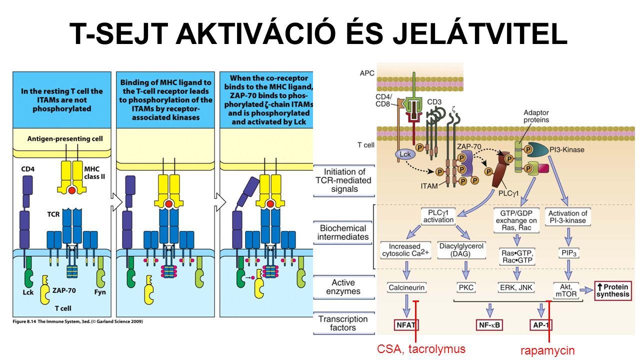 T-SEJT AKTIVÁCIÓ ÉS JELÁTVITEL CSA, tacrolymus rapamycin