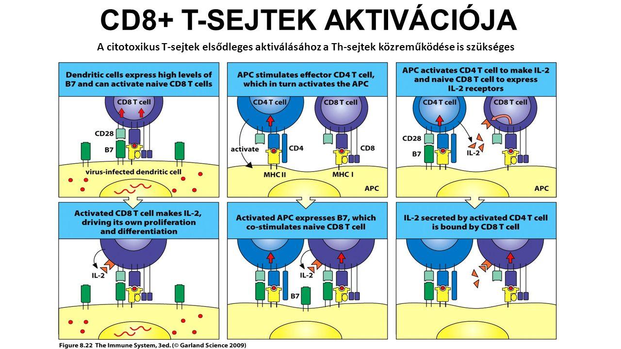 CD8+ T-SEJTEK AKTIVÁCIÓJA A citotoxikus T-sejtek elsődleges aktiválásához a Th-sejtek közreműködése is szükséges