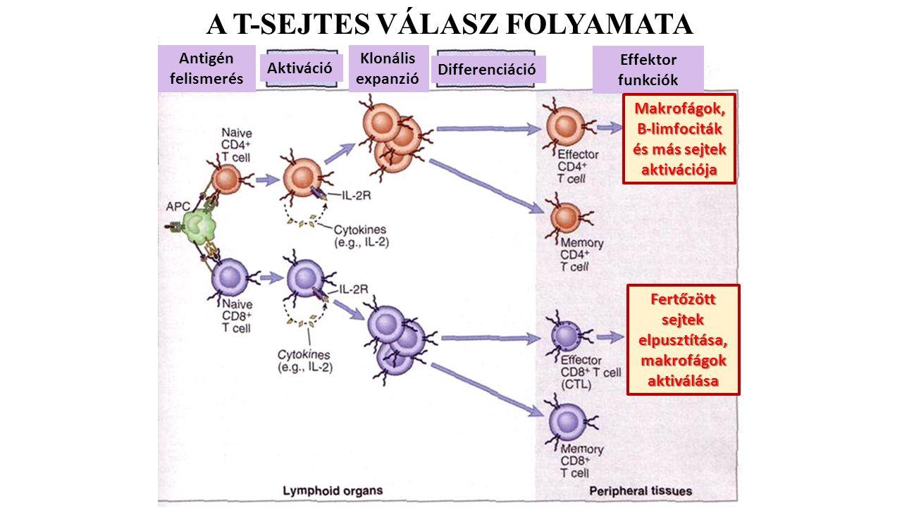 A T-SEJTES VÁLASZ FOLYAMATA Effektor funkciók Antigén felismerés Aktiváció Klonális expanzió Differenciáció Makrofágok, B-limfociták és más sejtek aktivációja Fertőzött sejtek elpusztítása, makrofágok aktiválása