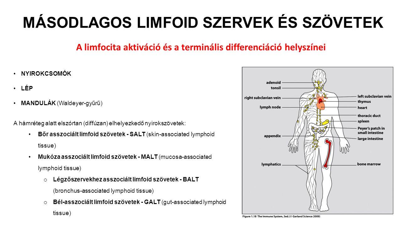 MÁSODLAGOS LIMFOID SZERVEK ÉS SZÖVETEK NYIROKCSOMÓK LÉP MANDULÁK (Waldeyer-gyűrű) A limfocita aktiváció és a terminális differenciáció helyszínei A hámréteg alatt elszórtan (diffúzan) elhelyezkedő nyirokszövetek: Bőr asszociált limfoid szövetek - SALT (skin-associated lymphoid tissue) Mukóza asszociált limfoid szövetek - MALT (mucosa-associated lymphoid tissue) o Légzőszervekhez asszociált limfoid szövetek - BALT (bronchus-associated lymphoid tissue) o Bél-asszociált limfoid szövetek - GALT (gut-associated lymphoid tissue)