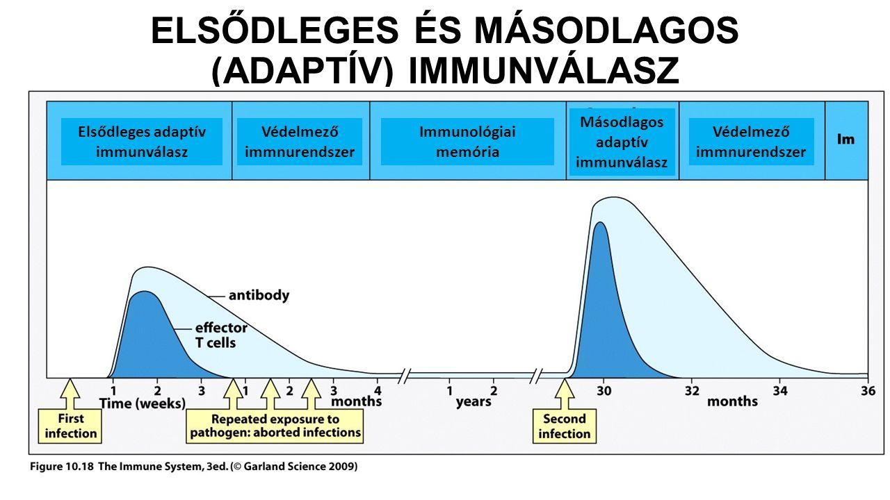 ELSŐDLEGES ÉS MÁSODLAGOS (ADAPTÍV) IMMUNVÁLASZ Elsődleges adaptív immunválasz Védelmező immnurendszer Másodlagos adaptív immunválasz Immunológiai memó