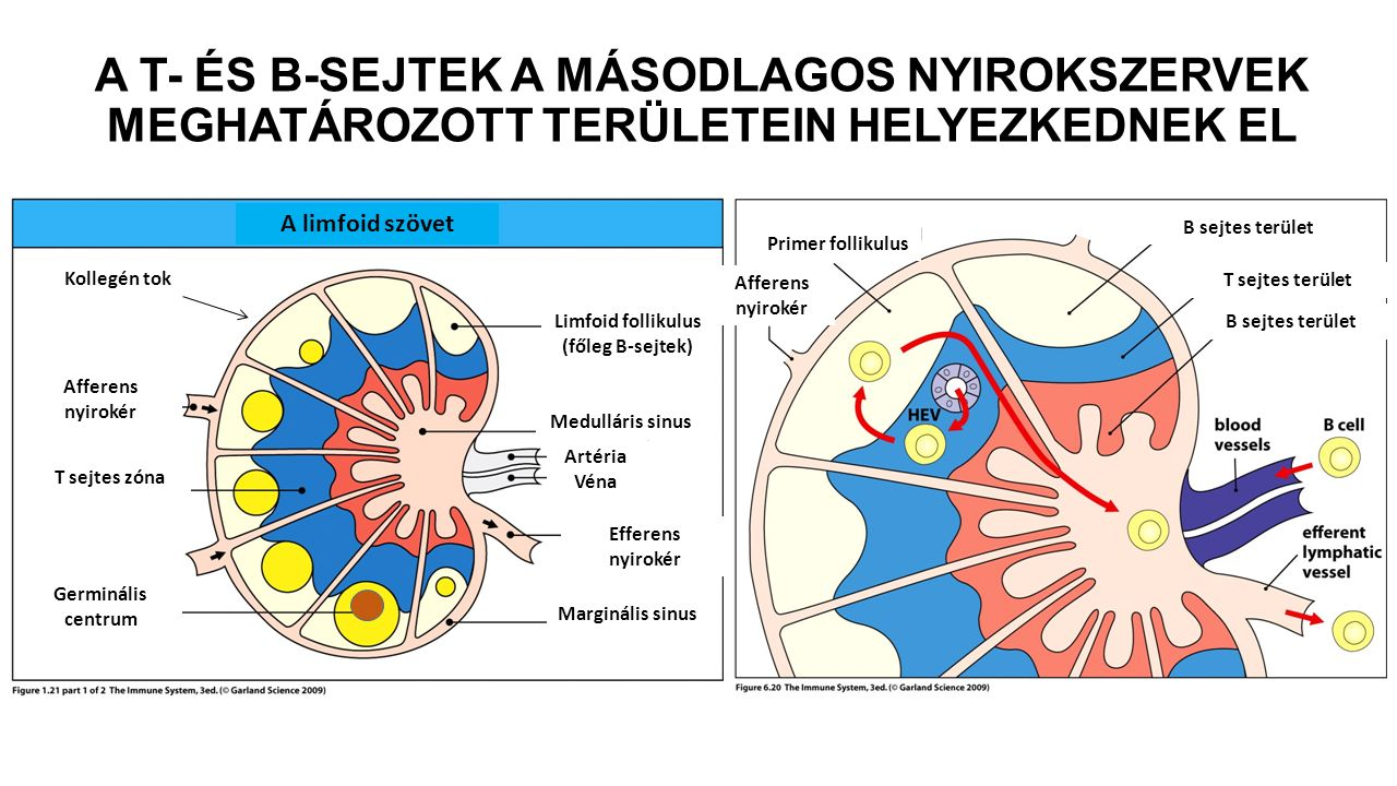 A T- ÉS B-SEJTEK A MÁSODLAGOS NYIROKSZERVEK MEGHATÁROZOTT TERÜLETEIN HELYEZKEDNEK EL A limfoid szövet Afferens nyirokér T sejtes zóna Germinális centrum Marginális sinus Efferens nyirokér Artéria Véna Medulláris sinus Limfoid follikulus (főleg B-sejtek) Primer follikulus Afferens nyirokér B sejtes terület T sejtes terület Kollegén tok B sejtes terület
