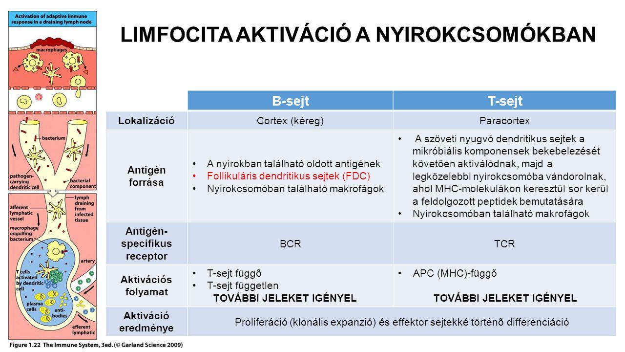 LIMFOCITA AKTIVÁCIÓ A NYIROKCSOMÓKBAN B-sejtT-sejt LokalizációCortex (kéreg)Paracortex Antigén forrása A nyirokban található oldott antigének Follikul