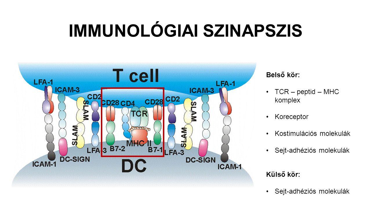 IMMUNOLÓGIAI SZINAPSZIS Belső kör: TCR – peptid – MHC komplex Koreceptor Kostimulációs molekulák Sejt-adhéziós molekulák Külső kör: Sejt-adhéziós mole