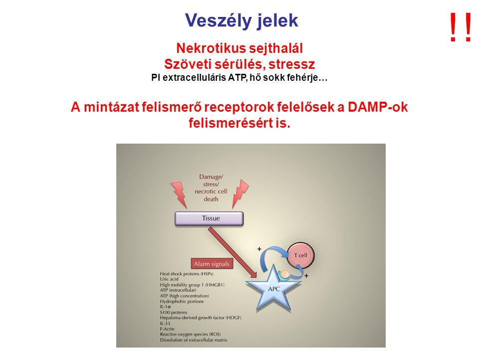 Veszély jelek Nekrotikus sejthalál Szöveti sérülés, stressz Pl extracelluláris ATP, hő sokk fehérje… A mintázat felismerő receptorok felelősek a DAMP-ok felismerésért is.