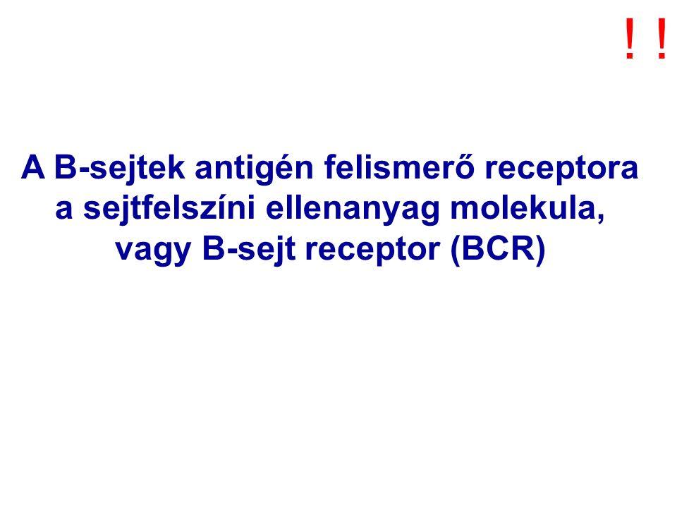 A B-sejtek antigén felismerő receptora a sejtfelszíni ellenanyag molekula, vagy B-sejt receptor (BCR) !!