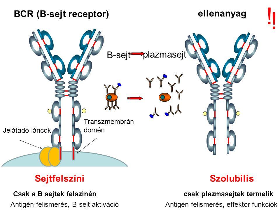 ellenanyag BCR (B-sejt receptor) .