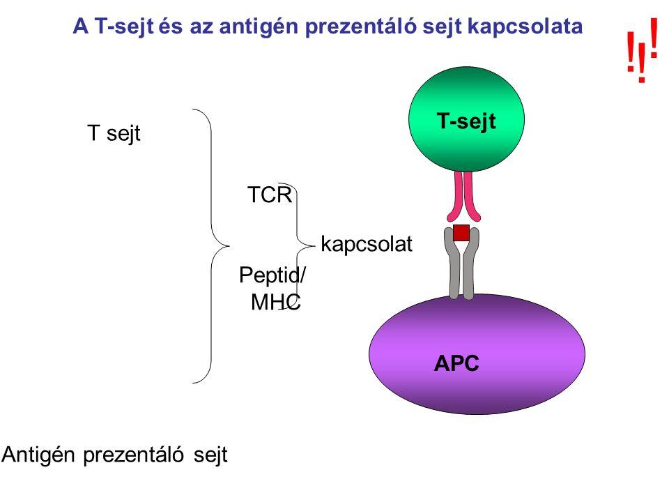 T-sejt APC T sejt Antigén prezentáló sejt TCR Peptid/ MHC kapcsolat A T-sejt és az antigén prezentáló sejt kapcsolata .
