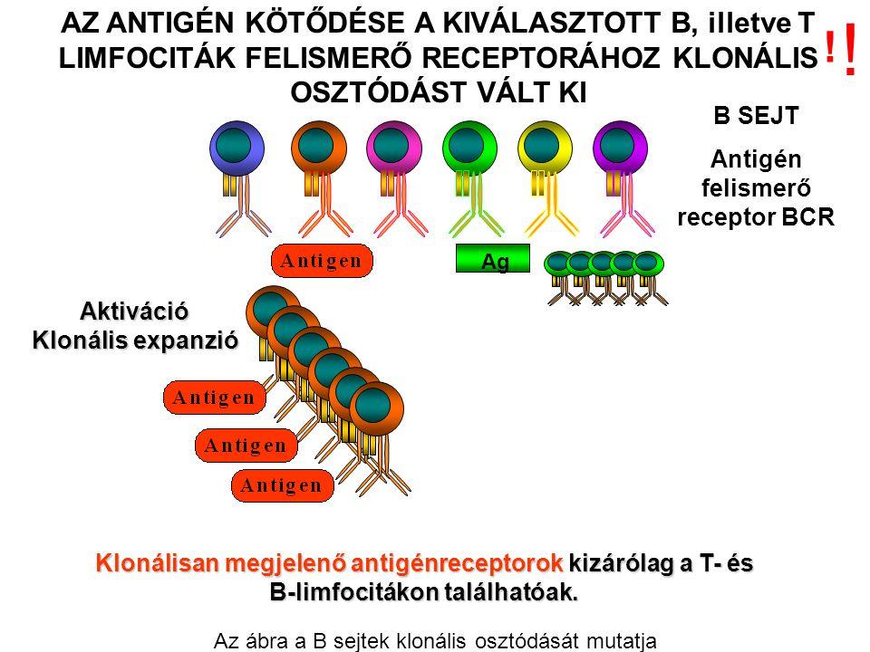 Aktiváció Klonális expanzió AZ ANTIGÉN KÖTŐDÉSE A KIVÁLASZTOTT B, illetve T LIMFOCITÁK FELISMERŐ RECEPTORÁHOZ KLONÁLIS OSZTÓDÁST VÁLT KI B SEJT Antigén felismerő receptor BCR Ag Klonálisan megjelenő antigénreceptorok kizárólag a T- és B-limfocitákon találhatóak.