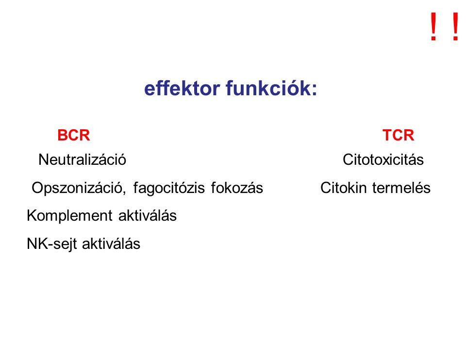 effektor funkciók: BCR TCR Neutralizáció Citotoxicitás Opszonizáció, fagocitózis fokozás Citokin termelés Komplement aktiválás NK-sejt aktiválás !!
