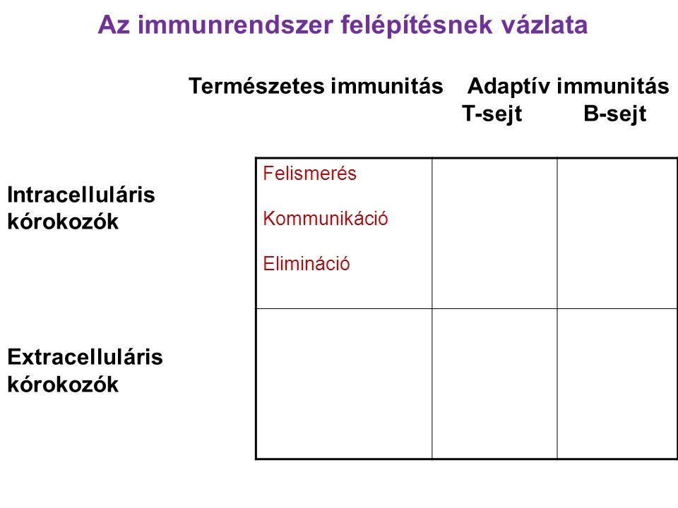 Természetes immunitás Adaptív immunitás T-sejt B-sejt Intracelluláris kórokozók Extracelluláris kórokozók Felismerés Kommunikáció Elimináció Az immunrendszer felépítésnek vázlata