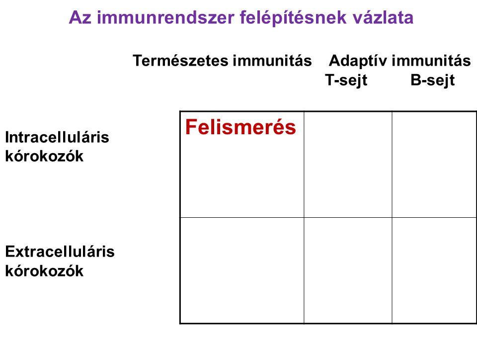 Természetes immunitás Adaptív immunitás T-sejt B-sejt Intracelluláris kórokozók Extracelluláris kórokozók Felismerés Az immunrendszer felépítésnek vázlata