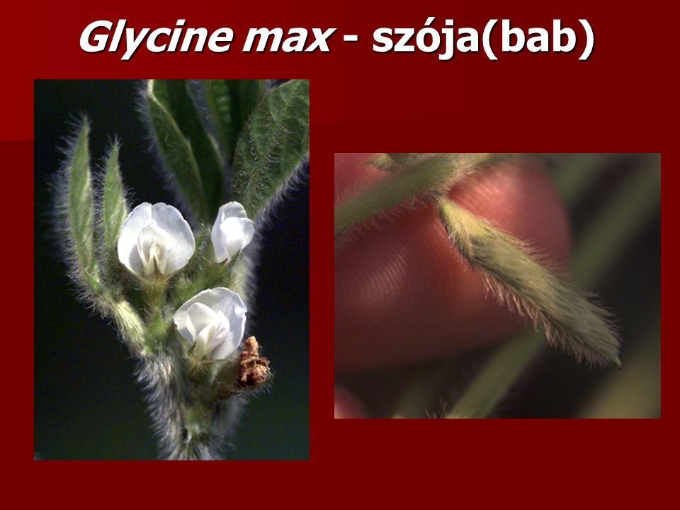 Glycine max - szója(bab)
