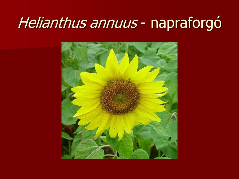 Helianthus annuus - napraforgó