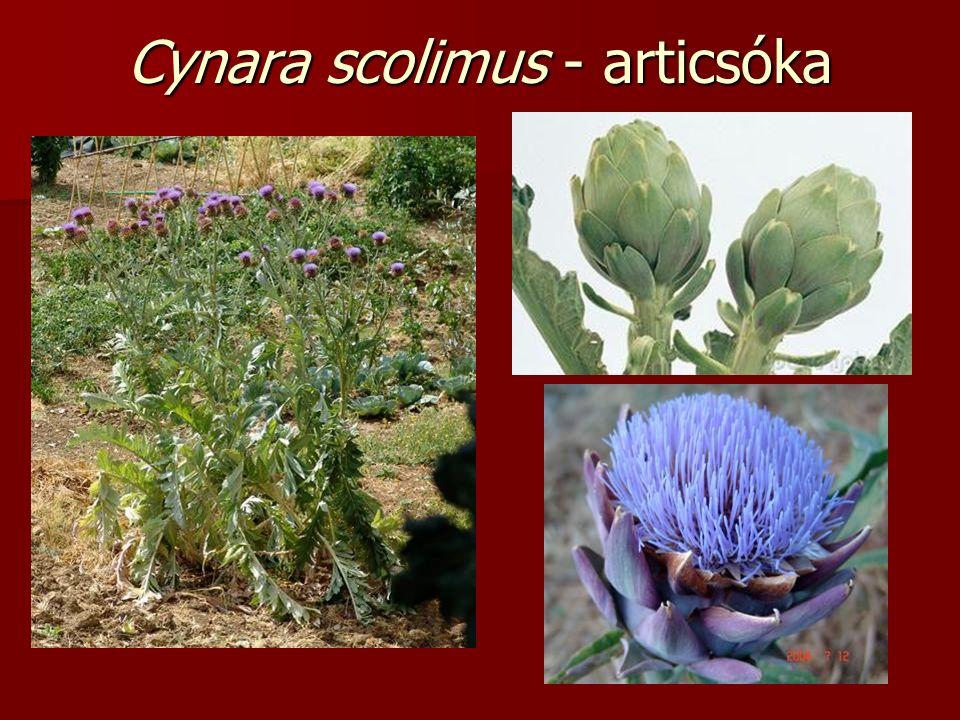 Cynara scolimus - articsóka