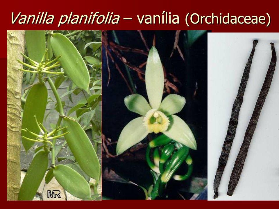 Vanilla planifolia – vanília (Orchidaceae)