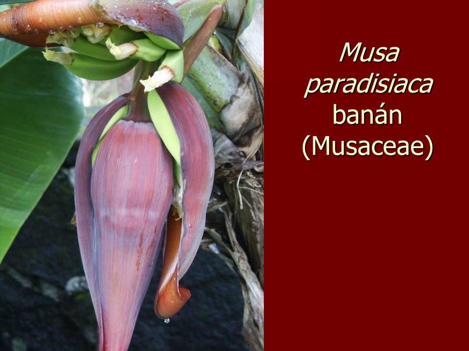 Musa paradisiaca banán (Musaceae)