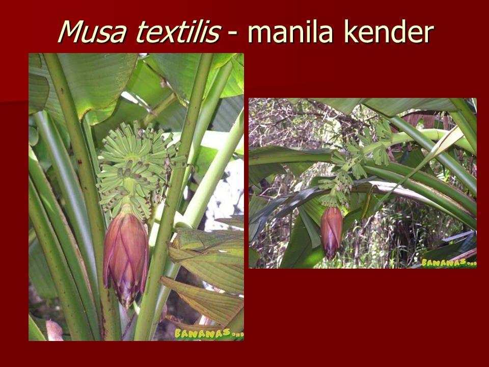 Musa textilis - manila kender