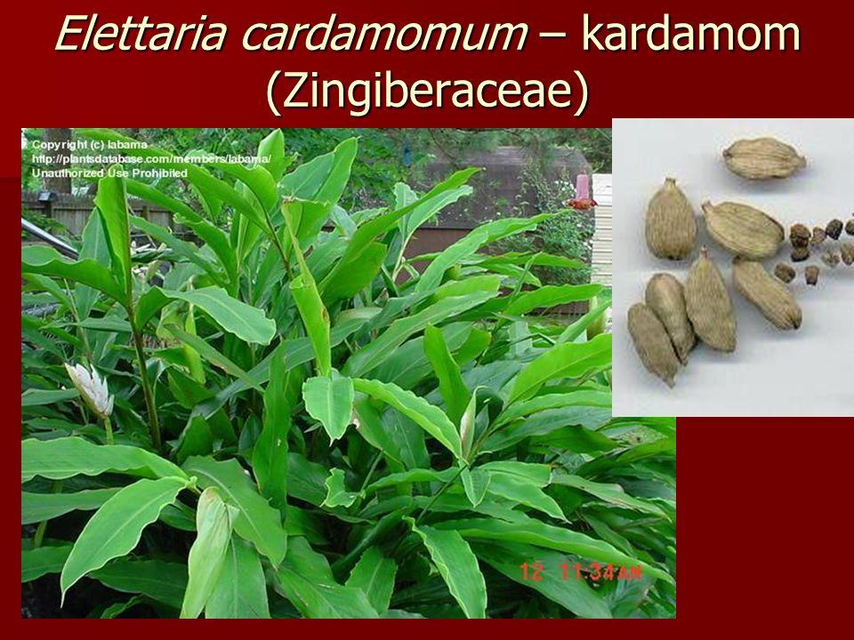 Elettaria cardamomum – kardamom (Zingiberaceae)