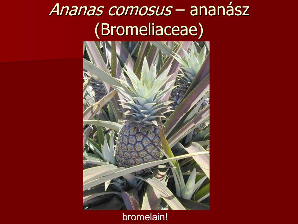 Ananas comosus – ananász (Bromeliaceae) bromelain!